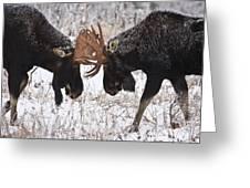 Moose Fighting, Gaspesie National Park Greeting Card by Nicolas Bradette