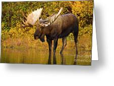 Moose In Glacial Kettle Pond  Greeting Card