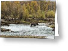 Moose Mid-stream - Grand Tetons Greeting Card
