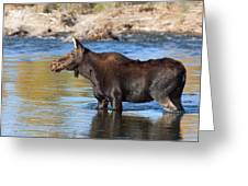 Moose On The  Gros Ventre River Greeting Card
