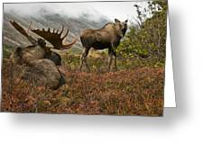 Moose Pair On Anchorage Hillside Greeting Card