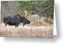 Moose Pictures 75 Greeting Card