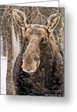Moose Pictures 88 Greeting Card