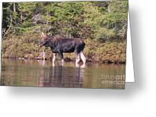 Moose_0591b Greeting Card