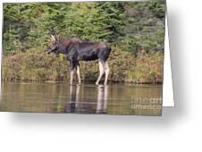 Moose_0596 Greeting Card
