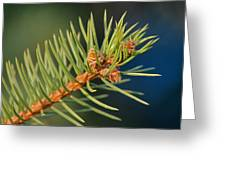 More Spruce Buds Greeting Card