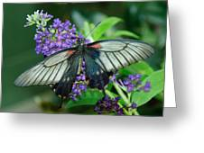 Mormon Butterfly Greeting Card