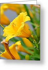 Morning Daylilies Greeting Card