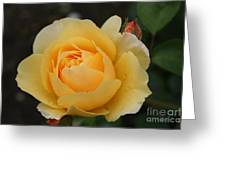 Morning Dew Rose Greeting Card