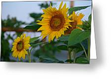 Morning Field Of Sunflowers Greeting Card