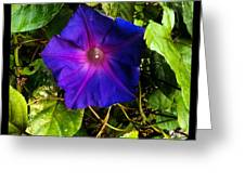 Morning Glory  Greeting Card by Chasity Johnson
