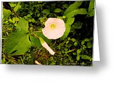 Morning Glory Glow Greeting Card