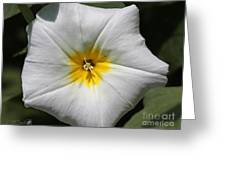 Morning Glory Named White Ensign Greeting Card