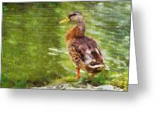 Morning Mallard Greeting Card