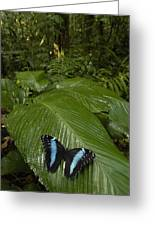 Morpho Butterfly In Rainforest Ecuador Greeting Card
