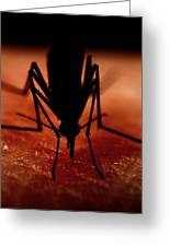 Mosquito Biting A Human Greeting Card by Science Photo Library