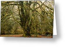 Moss-covered Bigleaf Maple  Greeting Card