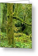 Moss Draped Big Leaf Maple California Greeting Card