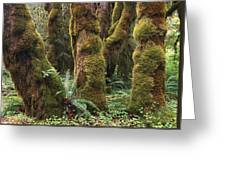 Mossy Big Leaf Maples In Hoh Rainforest Greeting Card