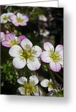 Mossy Saxifrage Flower Carpet Greeting Card