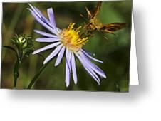 Moth Feeding On Aster Dragon Greeting Card