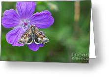 Moth Feeding On Geranium Sanguineum Greeting Card