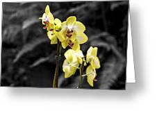 Moth Orchid 2 Greeting Card