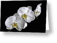 Moth Orchid Trio Greeting Card