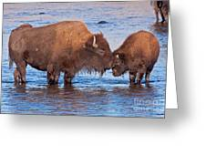 Mother And Calf Bison In The Lamar River In Yellowstone National Park Greeting Card