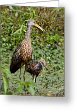 Mother Limpkin And Colt Greeting Card