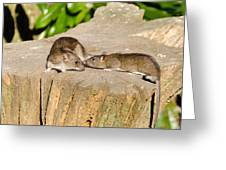 Mother Rat With Youngster Greeting Card