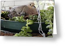 Mother With Baby Mourning Dove Greeting Card
