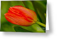 Mothers Day Tulip Greeting Card