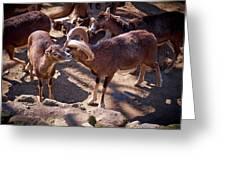 Mouflon Greeting Card