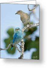 Mountain Bluebird Pair Greeting Card