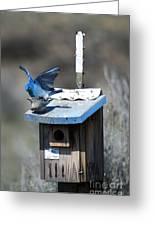Mountain Bluebirds Mating Greeting Card