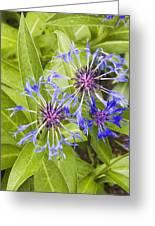 Mountain Bluet Flowers Greeting Card