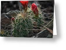 Mountain Claret-cups Greeting Card