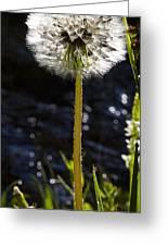 Mountain Dandelion Greeting Card