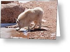 Mountain Goat Breaking Ice On Mount Evans Greeting Card