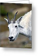 Mountain Goat Feeding Greeting Card