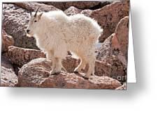 Mountain Goat On Mount Evans Greeting Card