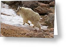 Mountain Goat On Snowfield On Mount Evans Greeting Card