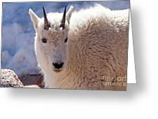 Mountain Goat Portrait On Mount Evans Greeting Card