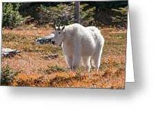 Mountain Goats Of Glacier Greeting Card