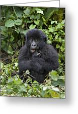 Mountain Gorilla Baby Chewing On Finger Greeting Card