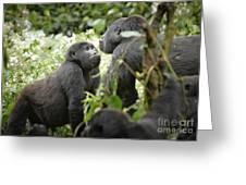 Mountain Gorillas Greeting Card