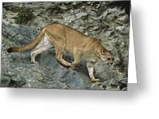 Mountain Lion Crossing Rocky Terrain Greeting Card