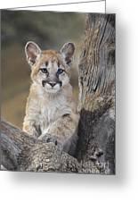 Mountain Lion Cub Greeting Card