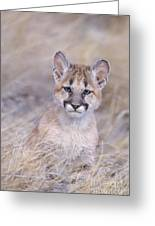 Mountain Lion Cub In Dry Grass Greeting Card
